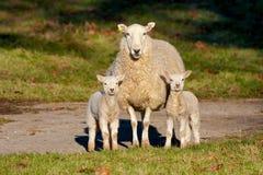 Oveja vigilante de la madre con dos corderos Fotos de archivo