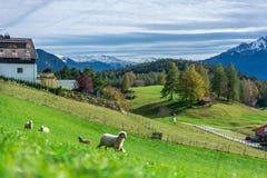 Ovejas adorables con Mountain View foto de archivo