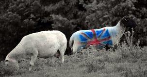 Ovejas adornadas con la bandera BRITÁNICA Foto de archivo libre de regalías