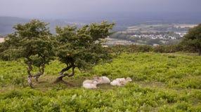Ovejas bajo un árbol Fotografía de archivo libre de regalías