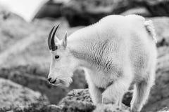 Ovejas blancas del Big Horn - Rocky Mountain Goat Imágenes de archivo libres de regalías