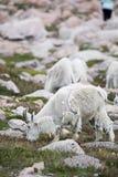Ovejas blancas del Big Horn - Rocky Mountain Goat Imagen de archivo libre de regalías