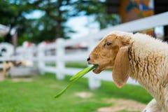 Ovejas blancas que comen la hierba Fotos de archivo libres de regalías