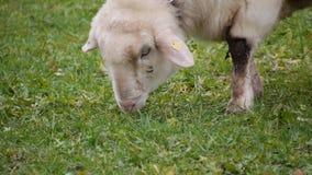 Ovejas blancas que comen la hierba fresca almacen de metraje de vídeo
