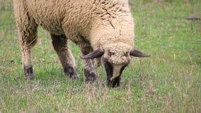 Ovejas blancas y marrones que comen la hierba en el prado, pastando almacen de metraje de vídeo