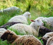 Ovejas blancas y marrones que mienten en hierba verde Fotografía de archivo