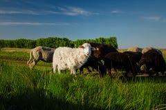 Ovejas blancas y negras que comen la hierba Animales domésticos en sheepfold Imagen de archivo libre de regalías