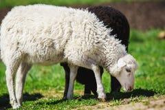 Ovejas blancas y negras que comen la hierba Animales domésticos en sheepfold Imagen de archivo
