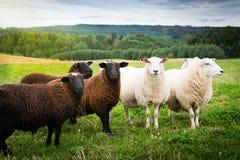 Ovejas blancos y negros junto en el prado Imagen de archivo