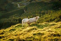 Ovejas cerca de Treorchy, pasando por alto el valle de Ogmore, Rhondda Cynon Taf, Mid Glamorgan, País de Gales, Reino Unido fotografía de archivo libre de regalías