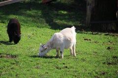 Ovejas con jugar corderos jovenes en un prado de la hierba verde en la guarida aan IJssel de Nieuwerkerk imagenes de archivo