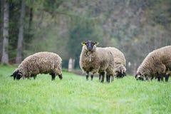 Ovejas con las capas pesadas de las lanas que se colocan en hierba verde y caras negras Imagenes de archivo