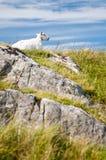 Ovejas con las rocas y el cielo azul Foto de archivo libre de regalías