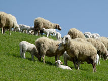 ovejas con los corderos foto de archivo libre de regalías