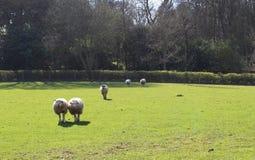 Ovejas con los corderos Fotos de archivo