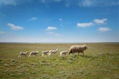 Ovejas con los corderos en el campo Foto de archivo libre de regalías