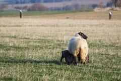 Ovejas con los corderos en el pasto, tiempo de primavera Imagen de archivo