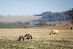 Ovejas con los corderos en el pasto, tiempo de primavera Fotos de archivo libres de regalías