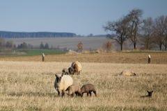 Ovejas con los corderos en el pasto, tiempo de primavera Fotos de archivo