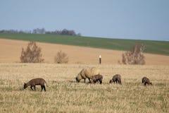 Ovejas con los corderos en el pasto, tiempo de primavera Imagenes de archivo