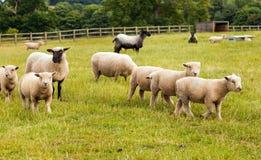 Ovejas con los corderos en granja en Inglaterra. Imagen de archivo