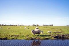 Ovejas con los corderos en los Países Bajos Foto de archivo libre de regalías