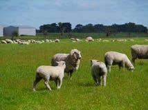 Ovejas con los corderos en un prado Foto de archivo libre de regalías