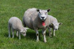 Ovejas con los corderos jovenes Imagen de archivo