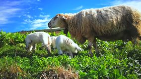 Ovejas con los corderos que pastan almacen de metraje de vídeo