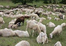 ovejas con los corderos y las pieles de cabra en el prado Fotografía de archivo