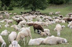 ovejas con los corderos y las pieles de cabra en el prado Foto de archivo libre de regalías