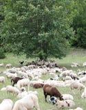 ovejas con los corderos y las pieles de cabra en el prado Imágenes de archivo libres de regalías