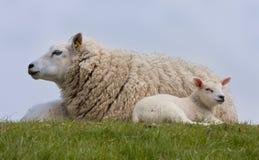 Ovejas con los pequeños corderos, reclinándose en la hierba Fotos de archivo libres de regalías