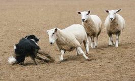 Ovejas contra perro Foto de archivo