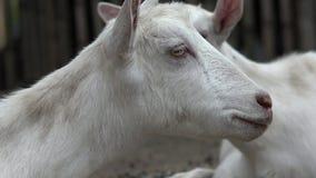 Ovejas, corderos, ganado, animales del campo almacen de video