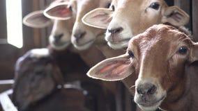 Ovejas, corderos, ganado, animales del campo metrajes