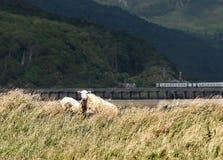 Ovejas de Barmouth, País de Gales imagen de archivo libre de regalías