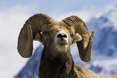 Ovejas de Bighorn Imágenes de archivo libres de regalías