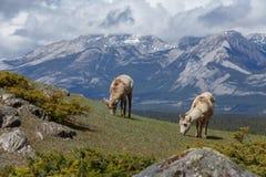 Ovejas de Bighorn fotografía de archivo libre de regalías