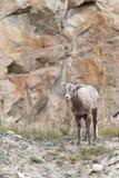 Ovejas de Bighorn, canadensis del ovis Fotografía de archivo libre de regalías