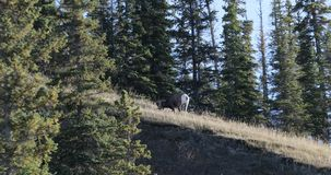 Ovejas de Bighorn, canadensis del Ovis, alimentando en la cumbre 4K