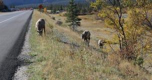 Ovejas de Bighorn, canadensis del Ovis, por el borde de la carretera en las montañas 4K