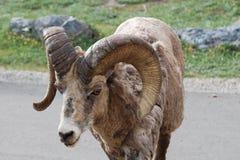 Ovejas de Bighorn en el camino Fotografía de archivo libre de regalías