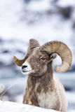 Ovejas de Bighorn en nieve Fotos de archivo libres de regalías