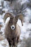 Ovejas de Bighorn en nieve Imágenes de archivo libres de regalías