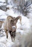 Ovejas de Bighorn en nieve Fotografía de archivo