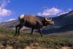 Ovejas de Bighorn que muestran Dominace Imágenes de archivo libres de regalías