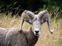 Ovejas de carnero con grandes cuernos americanas en un prado fotos de archivo libres de regalías