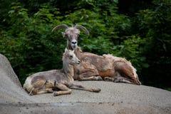 Ovejas de carnero con grandes cuernos de la montaña de la mamá y del bebé Foto de archivo libre de regalías