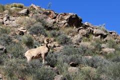 Ovejas de carnero con grandes cuernos del desierto Imagen de archivo